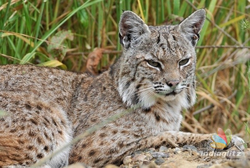 Courageous woman strangles and kills rabid bobcat