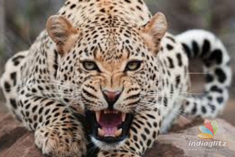 Leopard mauls and eats child, skull recovered following day